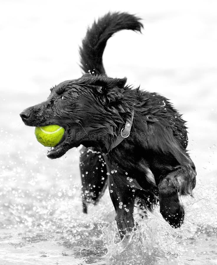 与网球的狗 免版税库存图片