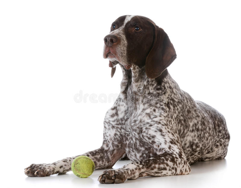 与网球的狗 免版税库存照片