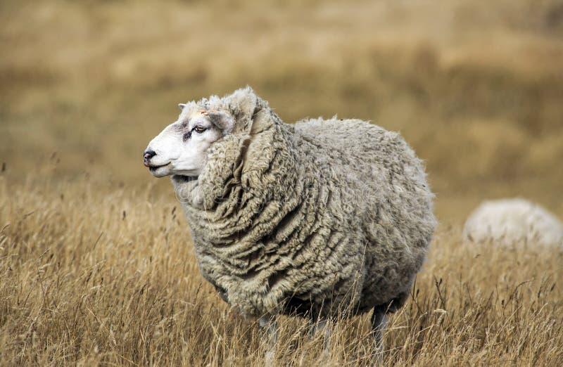 与羊毛充分的羊毛的绵羊准备好夏天剪 免版税库存图片