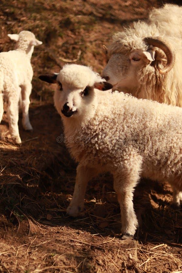 与羊羔的一只绵羊 免版税库存照片