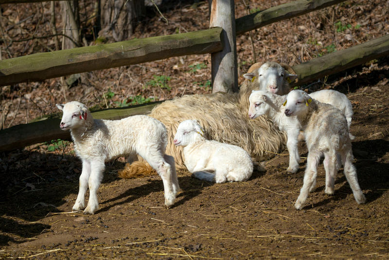 人和绵羊交配_与羊羔的绵羊在农村农场. 少许, beautifuler.