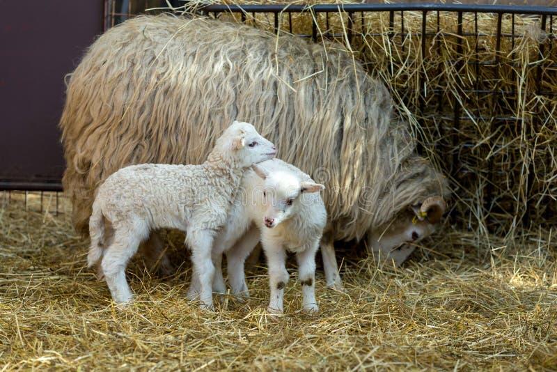 人和绵羊交配_与羊羔的绵羊在农村农场. 重婚, 耳朵.