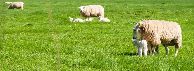 与羊羔的Sheeps在草甸 免版税库存图片