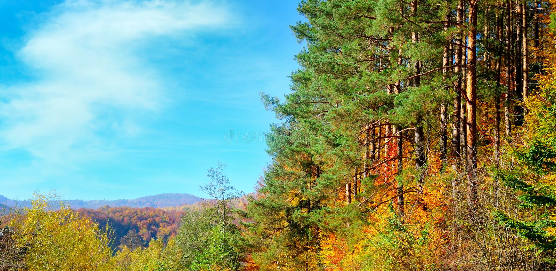 与美丽如画的森林晴朗的早晨场面的五颜六色的秋天风景 宽照片 免版税图库摄影