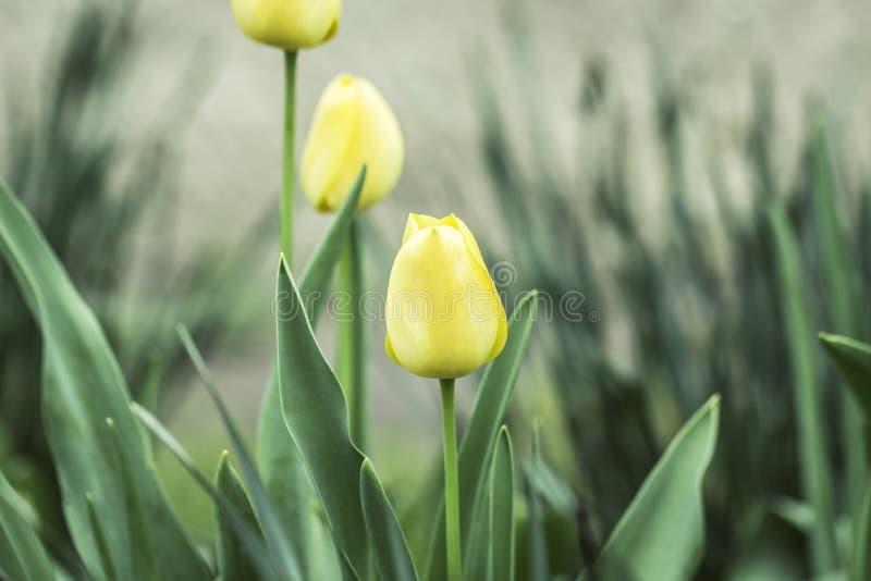与美丽的三黄色郁金香的春天背景 库存图片