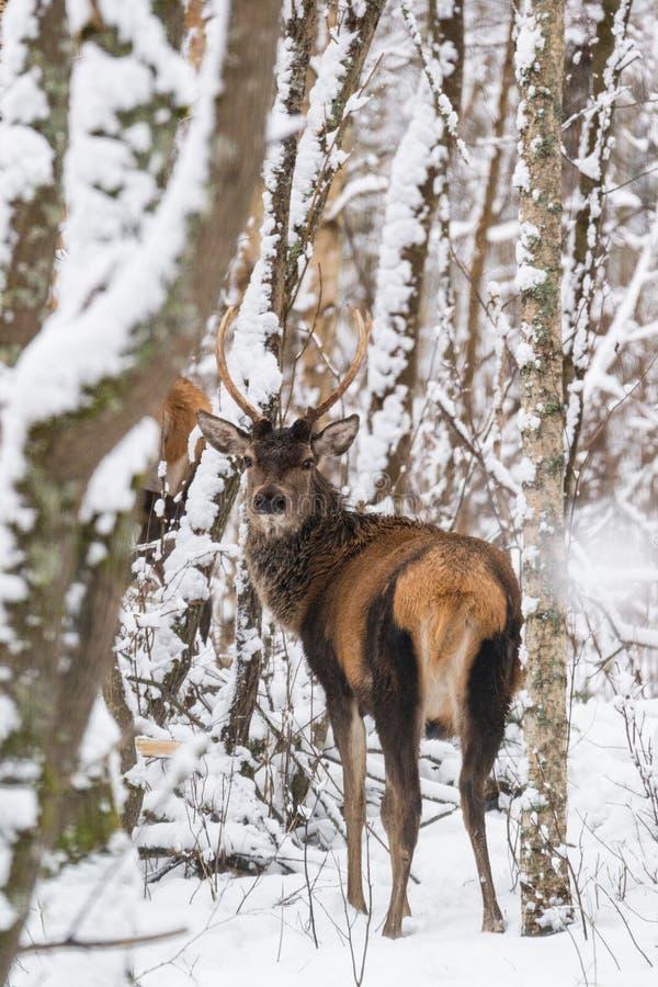 与美丽的垫铁的唯一年轻高尚的雷德迪尔鹿Elaphus在积雪的桦树森林欧洲野生生物风景机智中 免版税库存图片