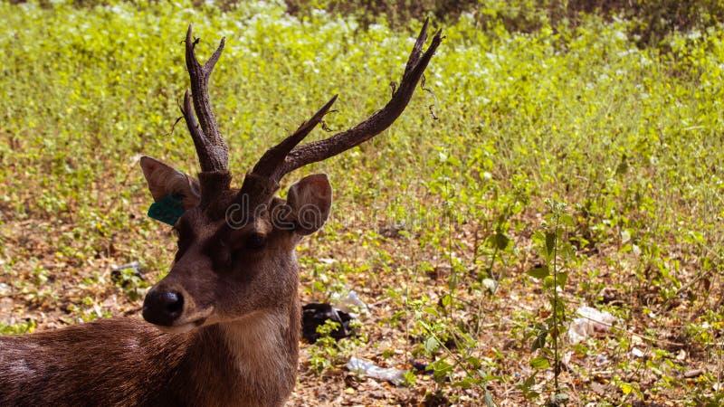 与美丽的垫铁的美妙的鹿 免版税库存照片
