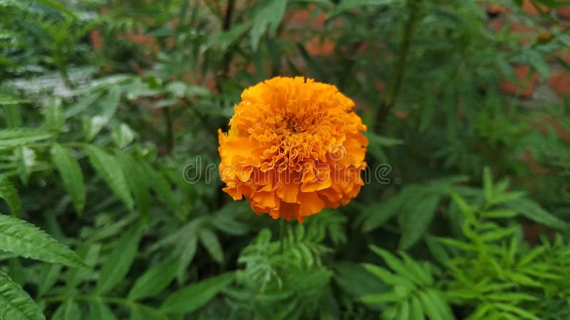 与美丽的气味的橙色花 库存照片