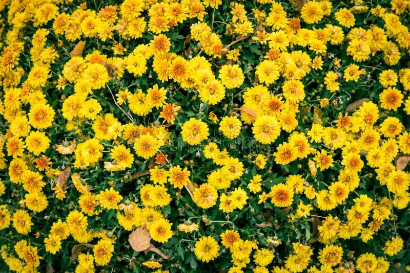 与美丽的滑稽的黄色花的背景 库存图片