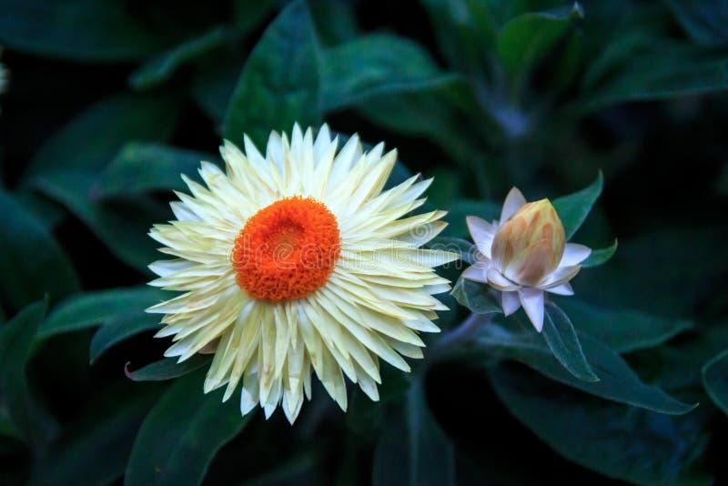 与美丽的瓣的花 免版税库存照片