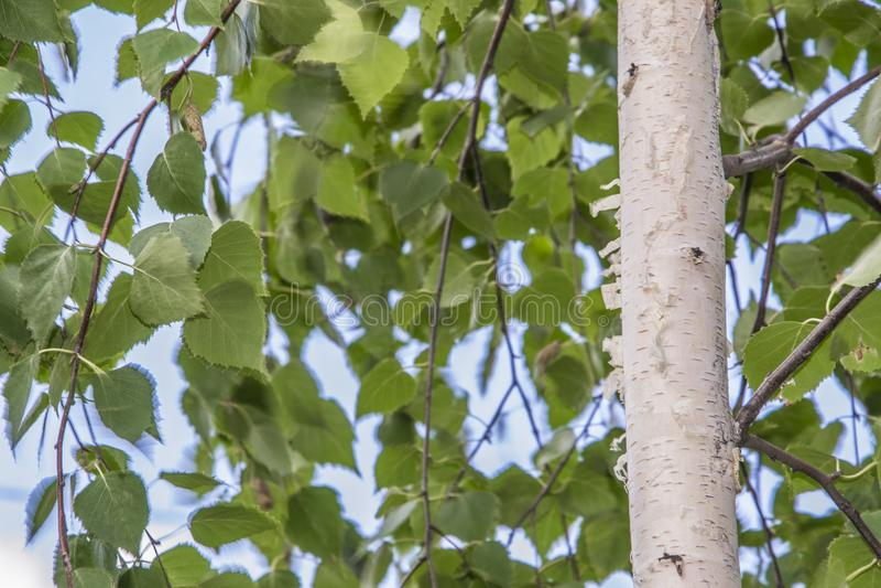 与美丽的白桦树皮的白桦树在桦树树丛里 免版税图库摄影