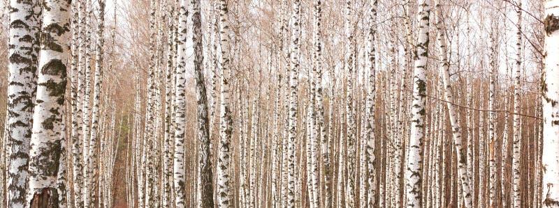 与美丽的白桦树皮的白桦树 库存照片