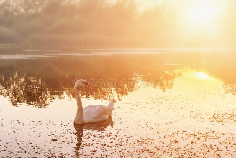 与美丽的白色天鹅在湖,自然背景的金黄日落风景 免版税图库摄影