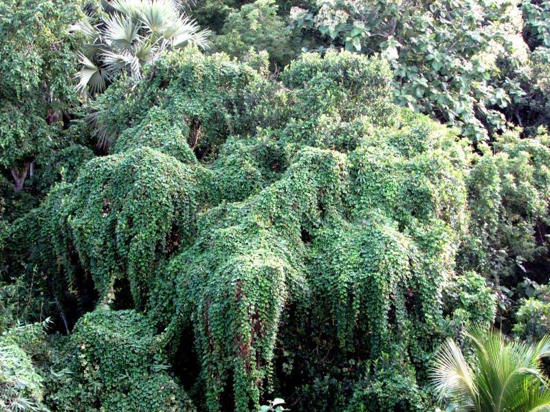 与美丽的绿色登山人和爬行物的森林coverd 图库摄影