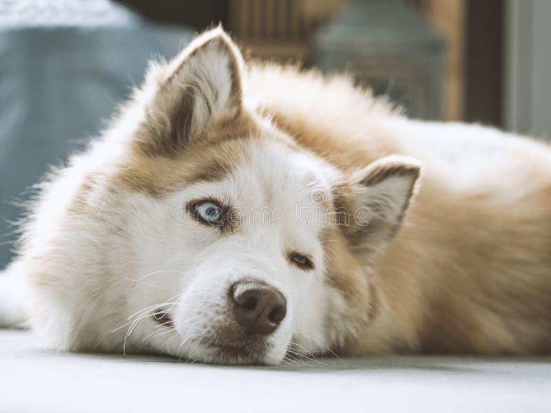 与美丽的蓝眼睛的西伯利亚爱斯基摩人 米黄和白色逗人喜爱和愉快的西伯利亚爱斯基摩人狗特写镜头画象  免版税库存照片