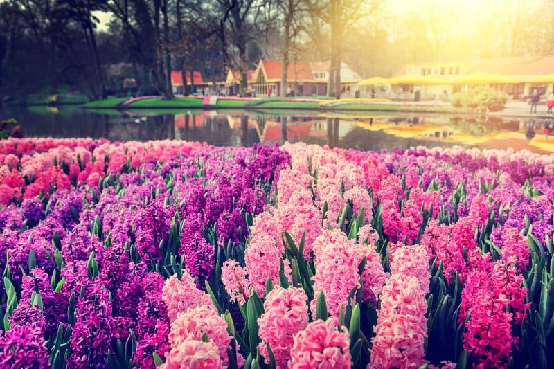 与美丽的风信花的春天风景 图库摄影