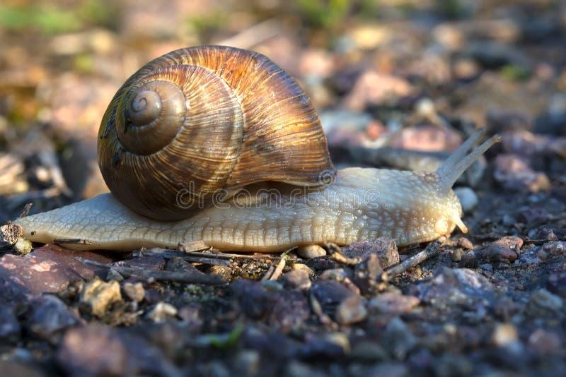 与美好的壳的蜗牛,慢慢地爬行沿路早晨 库存照片