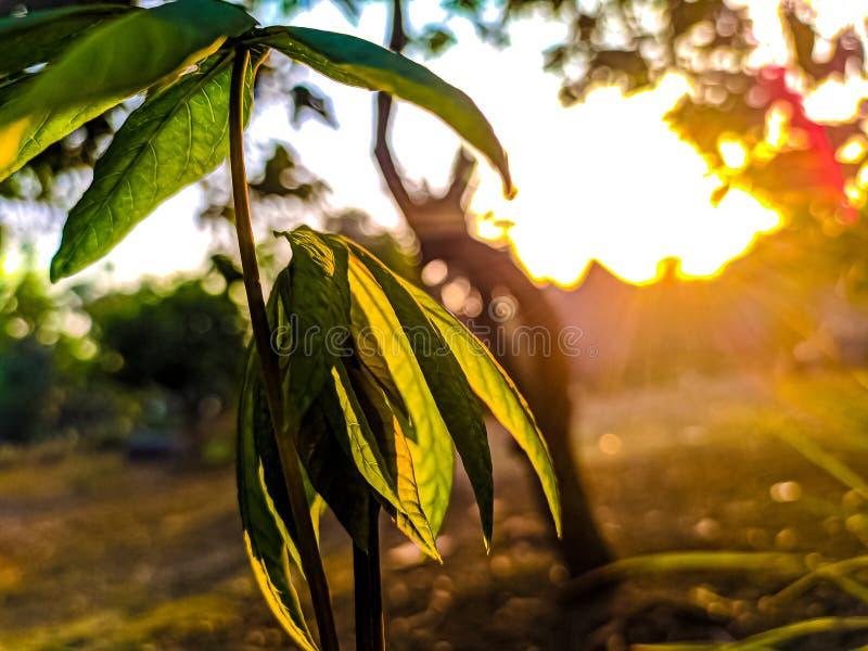 与美好的日出的早晨增长的植物 免版税库存图片