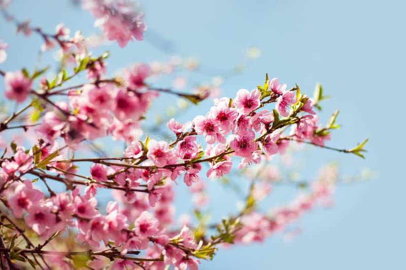 与美好的桃红色的分支开花桃子反对蓝天 选择聚焦 桃子开花在晴天 免版税库存照片