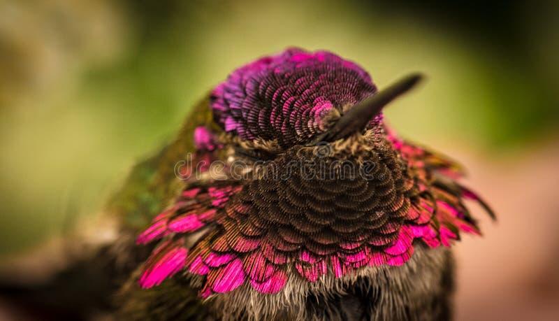 与美好的桃红色颜色的哼唱着鸟 免版税库存图片