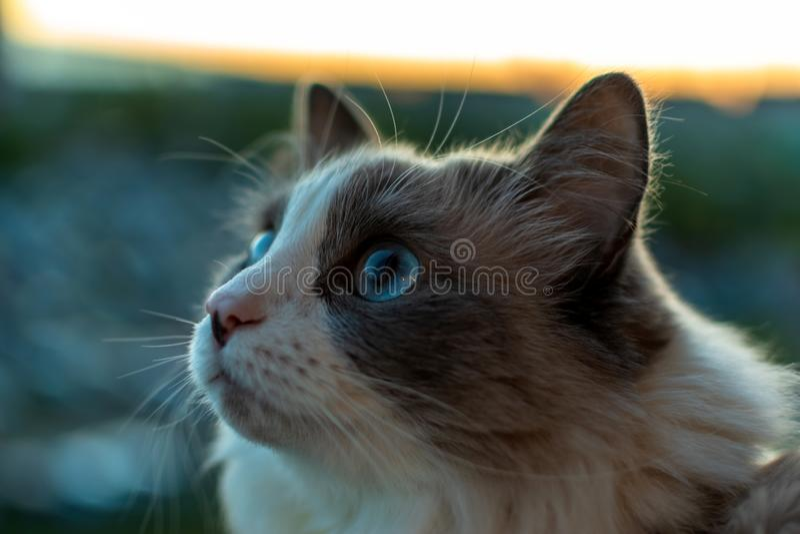 与美好的神色的家猫与蓝眼睛坐阳台观看鸟的 免版税库存图片