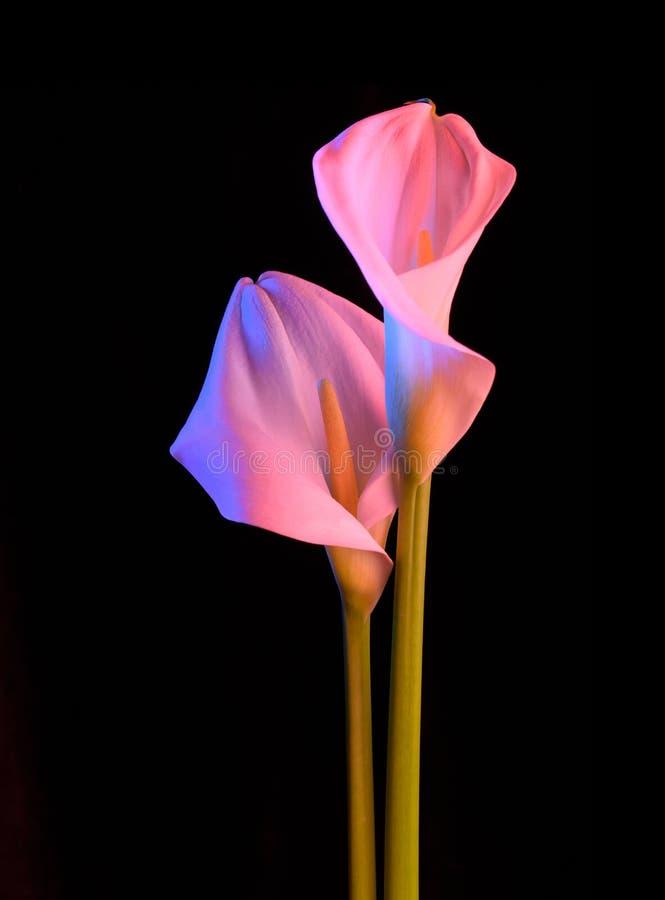 与美好的霓虹灯的美丽的花水芋属在黑背景 两朵美丽的花 免版税库存图片