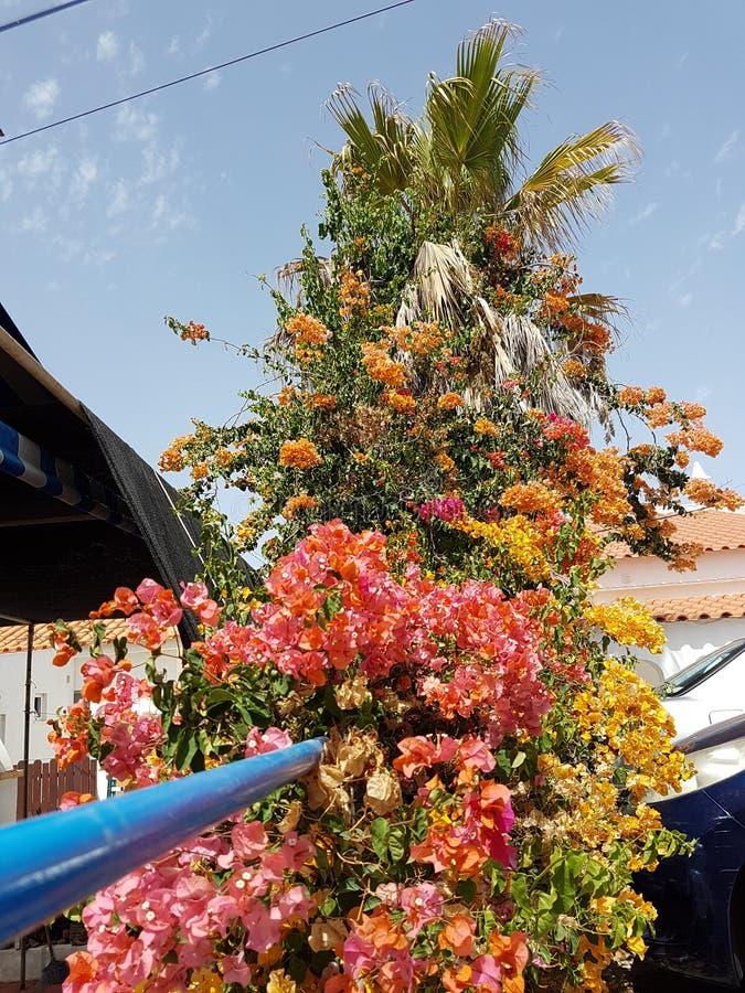 与美好的颜色的五颜六色的开花的开花的palmtree 免版税库存图片