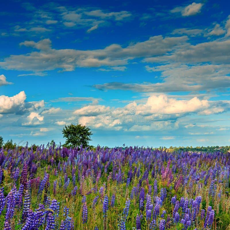 与美妙的开花的领域和完善的天空的庄严风景 库存图片