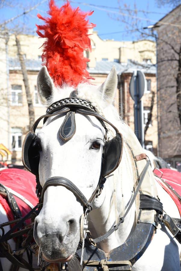 与羽毛的一匹马 免版税库存图片