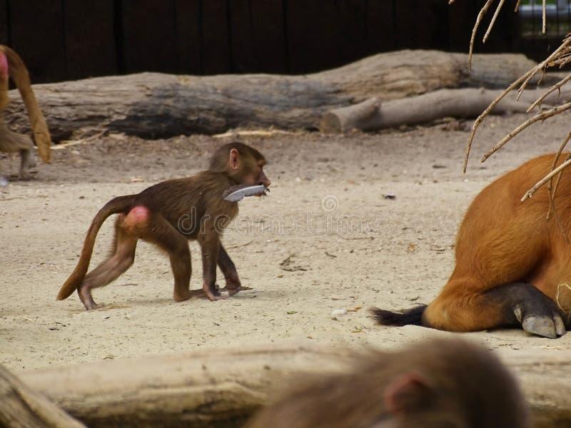 与羽毛的小猴子在嘴在动物园里 库存图片