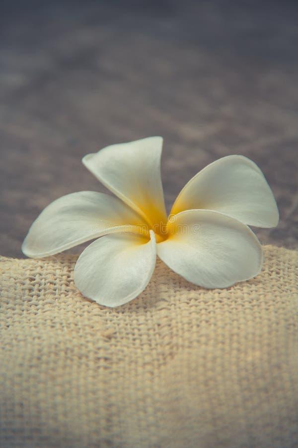 与羽毛(赤素馨花)的木背景 免版税库存图片