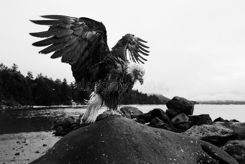 与翼传播的大胆的老鹰 免版税图库摄影