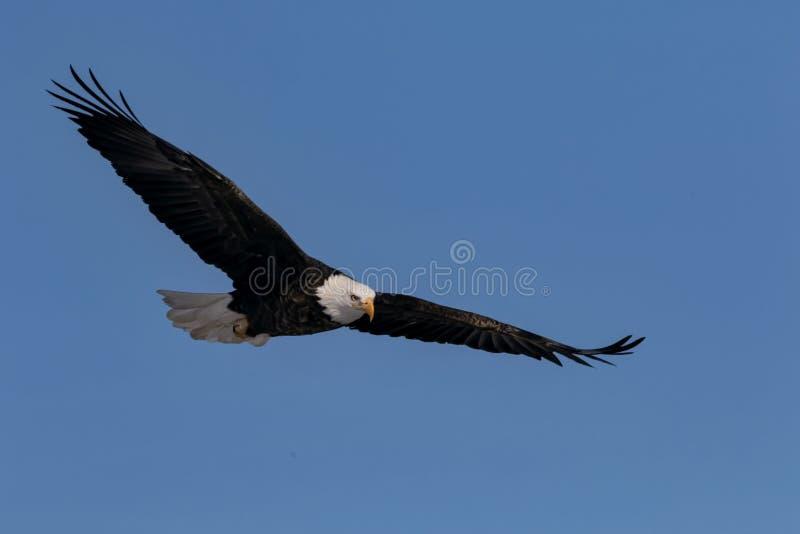 与翼传播的白头鹰飞行 库存图片