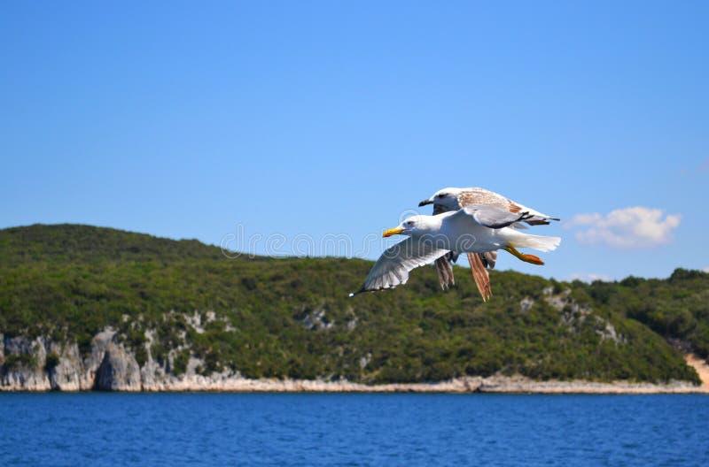 与翼宽传播的两只海鸥是在水的飞行 库存图片
