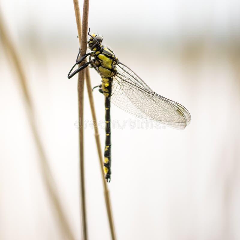与翼的接近的蜻蜓坐棍子 库存照片