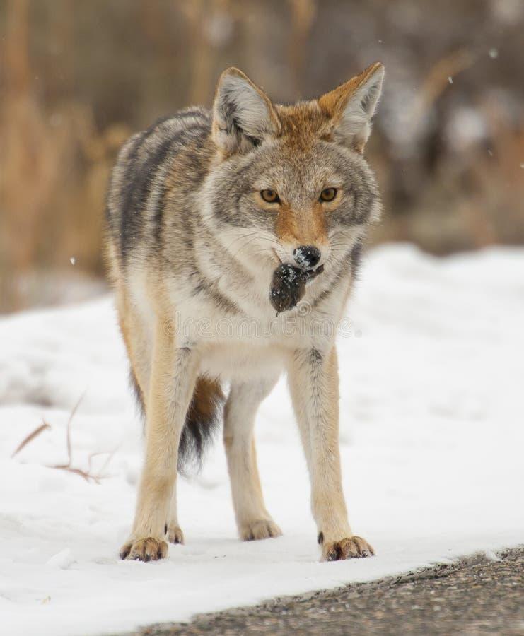 与老鼠或田鼠午餐的土狼在雪在黄石国家 库存图片