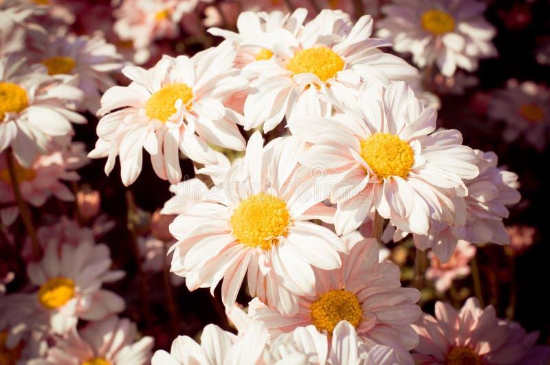 与老黑暗的桃红色滤色器的白色菊花花 库存照片