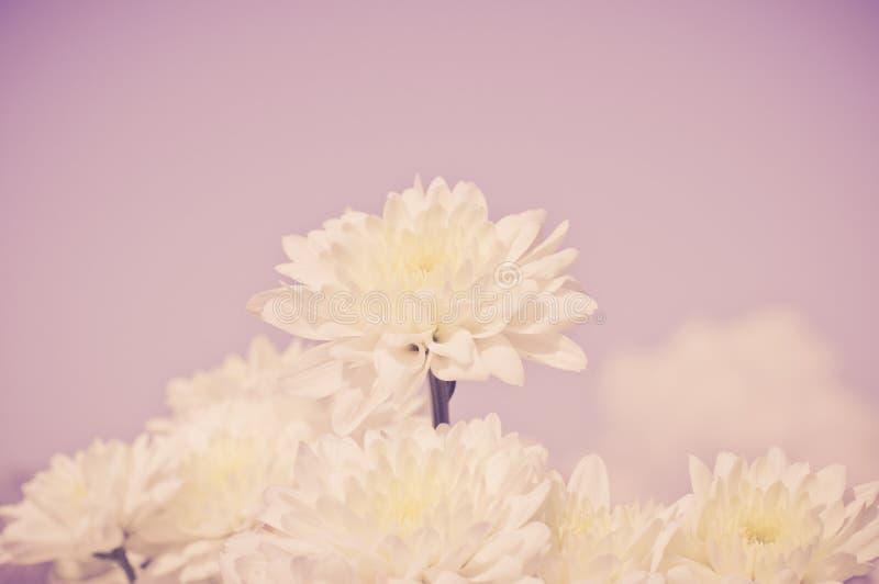 与老黑暗的桃红色滤色器的白色菊花花 免版税库存照片