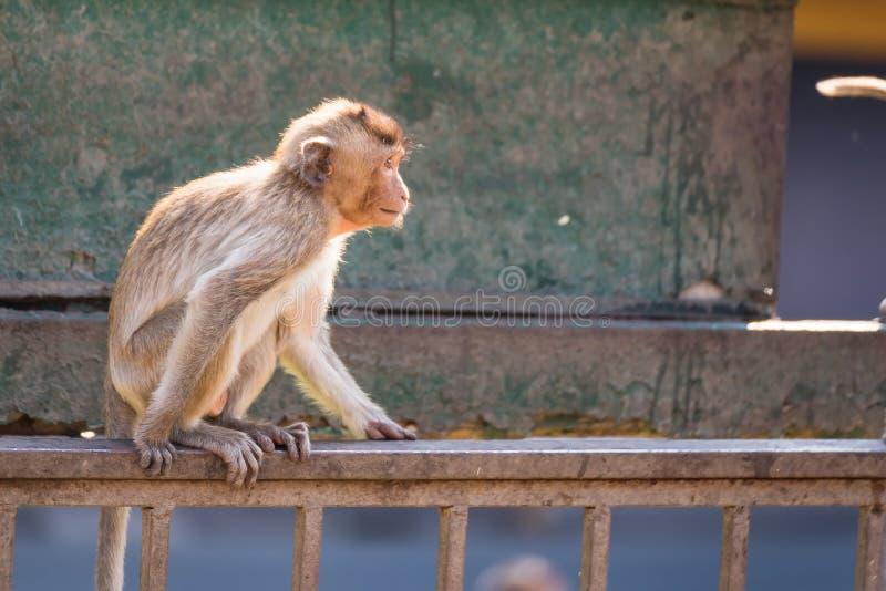 与考古学站点的长尾巴滑稽的猴子生活  Lopburi泰国 免版税图库摄影