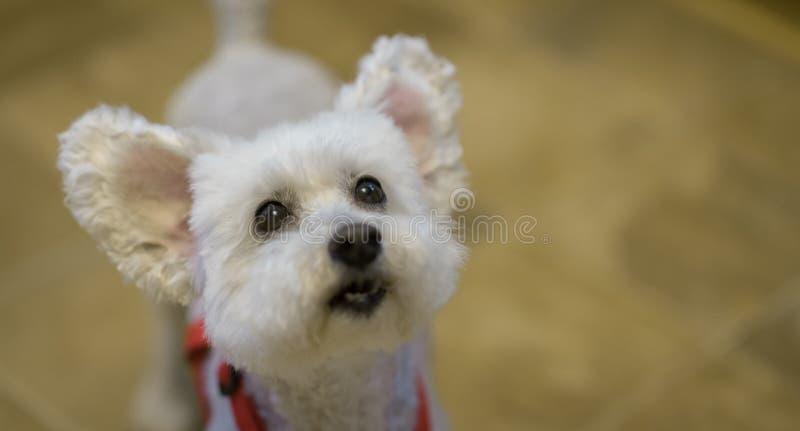 与耳朵的逗人喜爱和可爱的白色狮子狗 在眼睛的重点 免版税图库摄影