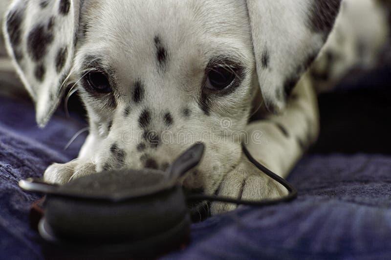 与耳机的淘气达尔马希亚小狗 图库摄影