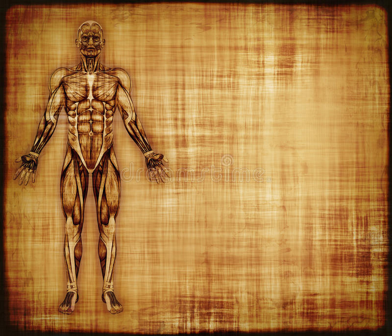 与肌肉解剖学的羊皮纸 库存例证