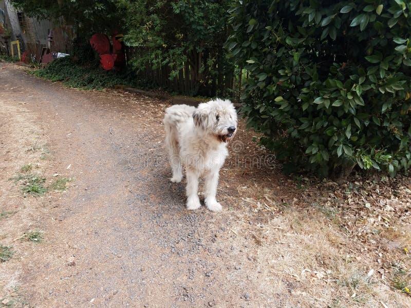 与肮脏的胡子的白色狗在小卵石道路 图库摄影