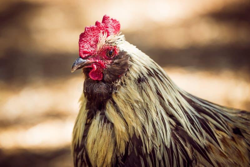 与胆怯的雄鸡在头和棕色身体附近 库存照片