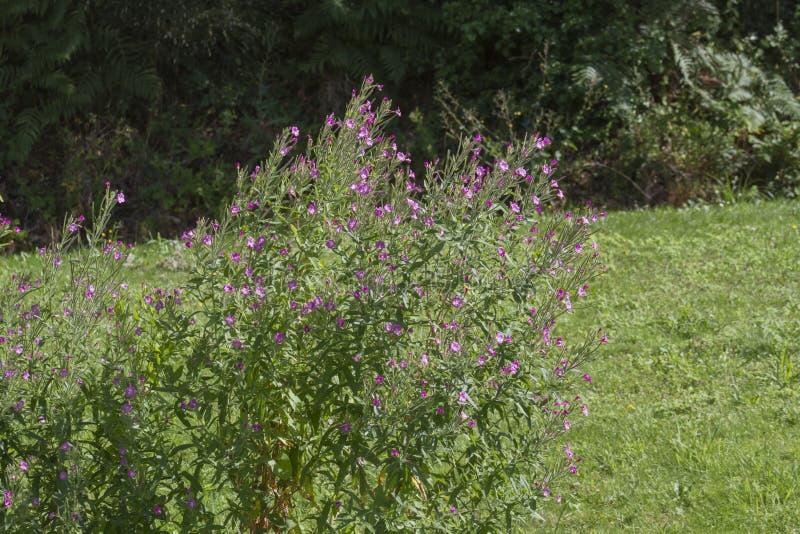 与背景领域的淡紫色花 库存图片