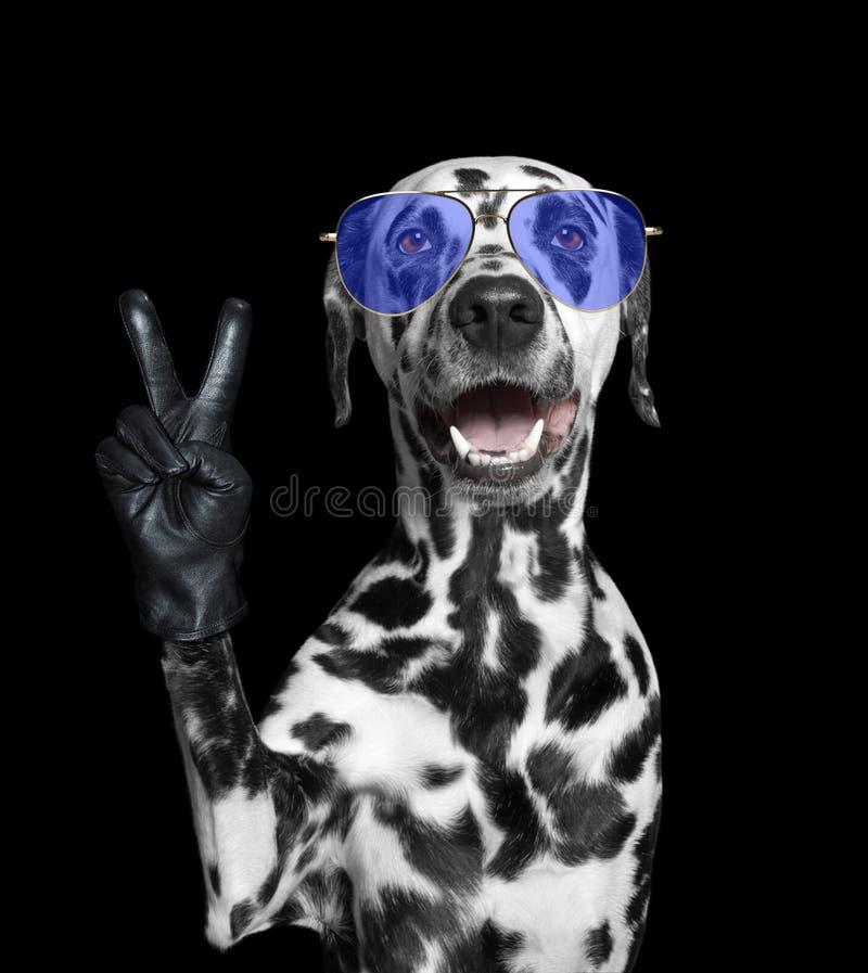 与胜利手指的达尔马希亚狗 查出在黑色 图库摄影