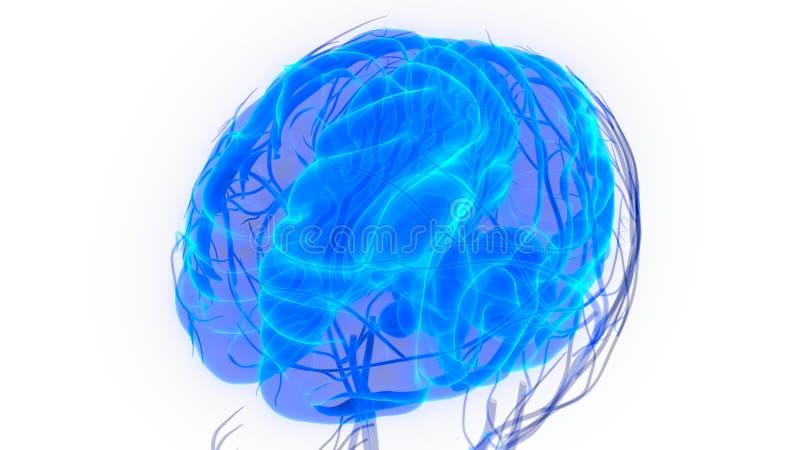 与脑子解剖学的人体器官循环系统 库存例证
