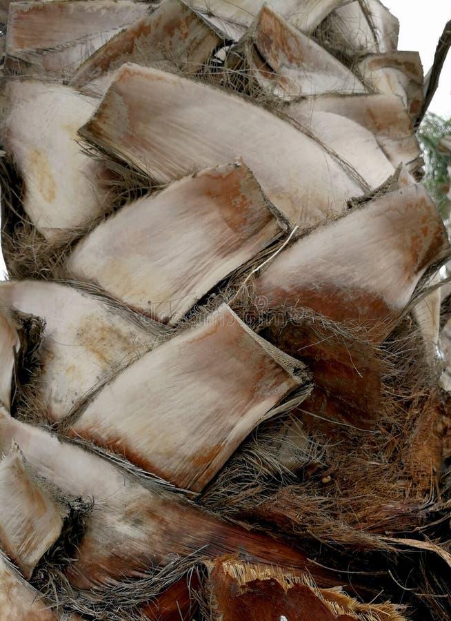 与自然吠声的棕榈树树干 免版税库存图片