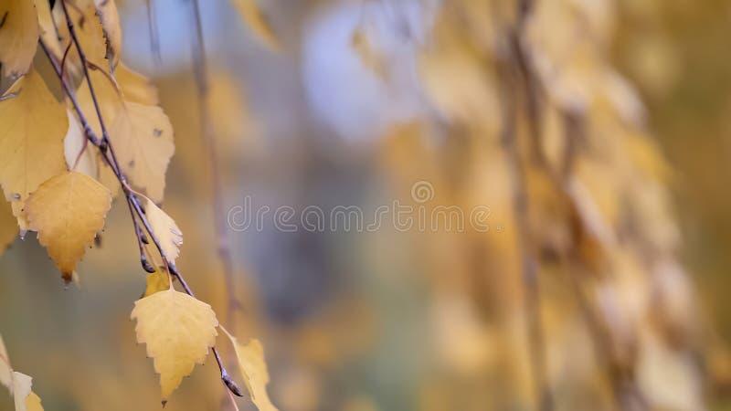 与自然秋叶的白杨树分支 免版税库存图片