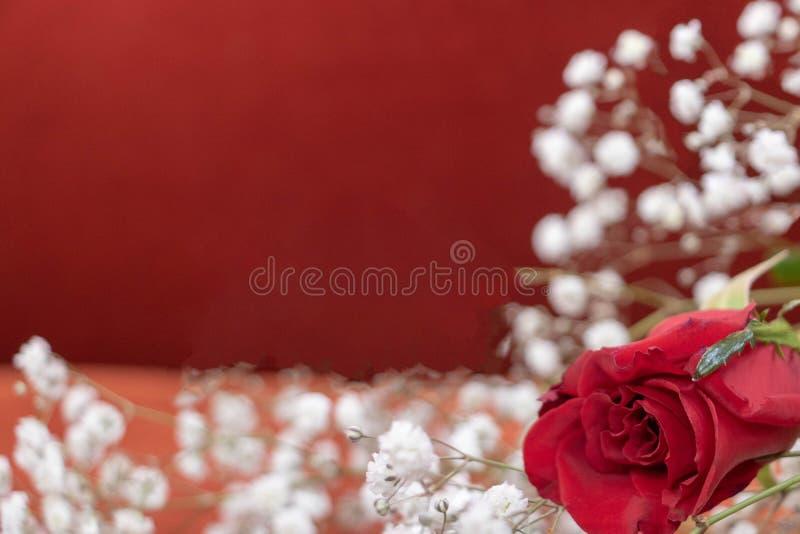 与自由空间,一朵红色玫瑰的浪漫主义的浪漫图表背景与白色麦的 免版税库存图片